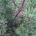 <b>Pino montano (Pinus mugo).<br />Gli aghi sono riuniti a fascetti di 2.</b>