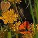 Schmetterlingskundler?