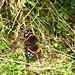 bella farfalla.....aveva difficoltà a spiccare il volo