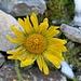 Eine Blume (Gemswurz?) hat dem Wintereinbruch getrotzt