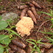 Champignon spongiforme (?)