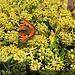 Kleiner Fuchs auf blühendem Efeu