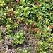 <b>Interessante associazione tra mirtilli rossi (Vaccinium vitis-idaea) e mirtilli neri (Vaccinium myrtillus).</b>