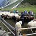 """<b>L'operazione di conta e di separazione non è del tutto banale e richiede parecchio tempo.<br />I pastori più esperti se la ridono di gusto vedendo le giovani """"pastorelle"""" in difficoltà.</b>"""