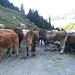 Besagte Umzingelung. da wo sie stehen musste man rausfahren. Es war eine gemischte Herde, Mutterkühe mit Kälbern und jungen Stieren. Das ist mit Vorsicht zu geniessen.
