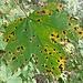 Ein wunderschönes Ahornblatt kündet vom Herbst.