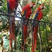 Wilde Rote Aras