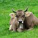"""Hier haben die Kühe """"noch"""" oder """"wieder"""" Hörner :-)"""
