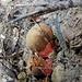 wie mir der Jura- und Pilzkenner Max mitteilte: ein gesuchter Speisepilz, der [https://de.wikipedia.org/wiki/Flockenstieliger_Hexen-R%C3%B6hrling Flockenstielige Hexen-Röhrling]