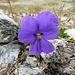 Langsporniges Stiefmütterchen (Viola calcarata)