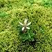 Sternblütiger Steinbrech (Saxifraga stellaris)