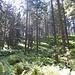 Nach der Querung zweier Wege führt der Alpine Pfad, wieder gut sichtbar, nun als Wanderweg in den Wald hinauf und nach einer Rechts- und einer Linkskehre immer weiter ansteigend auf den Stübenwasen.