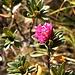 <b>Fioritura tardiva di rododendro.</b>