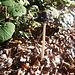 "Ein Specht-Tintling (Coprinopsis picacea).<br /><a href=""https://www.de.wikipedia.org/wiki/Specht-Tintling"" rel=""nofollow"">Wikipedia<a></a></a>"