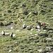 Gämse (Rupicapra rupicapra) und Alpensteinbock (Capra ibex)
