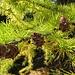 Lärche (Larix decidua)