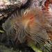 Protula tubularia, Kalkröhrenwürmer