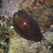Braune Kauri Schnecke, Lurida lurida. Diese Schnecke kann ihren schwarzen Mantel ganz über die glatte, glänzende Muschel ziehen. <br /><br />Una ciprea lurida, Lurida lurida. Il mantello del mollusco avvolge completamente la conchiglia liscia e lucida.