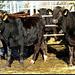 Da der Stall noch nicht mit einem Flachbild-Fernseher ausgerüstet ist, freuen sich die Rindviecher für jede andere Abwechslung.
