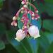I fiori del Corbezzolo / Blüten des Erdbeerbaums