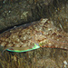 Gewöhnlicher Tintenfisch (Sepia officinalis) auf Beutefang / Seppia in ricerca di preda