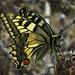Il Macaone, Schwalbenschwanz, Papilio machaon. Che bellezza della Natura! / Welch eine Schönheit der Natur!