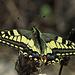 Il Macaone dall`alto, Schwalbenschwanz, Papilio machaon von oben