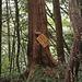 Markierte Zeder im Koyamaki-Forest.