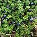Zwittrige Krähenbeere (Empetrum hermaphroditum). Die Früchte sind essbar und reich an Vitamin C.