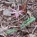 """<b>Dente di cane (Erythronium dens-canis)</b>. La foto è stata scattata nella Valle Bova il 6.4.2008. Etimologia: dal greco """"erythròs"""", rosso, per il colore del fiore e dal latino """"dens canis"""", dente di cane, per la forma acuminata del bulbo che ricorda il dente di un cane.<br /><br />"""