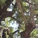 Blick in die Krone des über 1'000 Jahre alten Gingko.