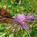 Schmetterling und Schwebfliege tun sich an einer Wiesen-Flockenblume gütlich.