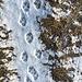 Wolfsspuren im Schnee - leider haben keine Calanda-Wölfe gesehen...