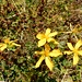 golden blüht noch ein Johanniskraut