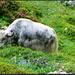 Im Gebiet um Bidelmi weidete eine Yaks-Herde. Beeindruckend der gigantische Yaks-Bulle (schon fast ein 40-Tönner!) mit seinen gewaltigen Hörnern. Er hat meinen Aufstieg zur Leutschachhütte aufmerksam verfolgt und voller Vorfreude seinen Yaks-Mädels zugeraunt, dass er mich und meine Hunde gleich platt machen würde. Da mich aber rechtzeitig eine böse Vorahnung beschlich, habe ich diesen Wegabschnitt grossräumig umgangen und bin daher nicht auf dem <b>Seziertisch eines Urner Pathologen</b> gelandet...