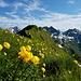 Ein Meer von Trollblumen beim Übergang zum Bergächtle