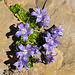 Blumenpracht am Schwander Grat