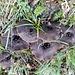 (für mich) spezielle Pilze - am Weg ... vermutlich ein frostgeschädigter Habichtspilz