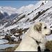 Oberhalb Realp, Hostetten.<br /><br />Wenig später frisst mein Hund einen <b>Haufen Scheisse</b>, den er dann - kaum ist er eingestiegen - im Auto wieder <b>rauskotzt</b>. Der neben mir stehende Deutsche lernte danach gratis und franko <b>587 Schimpfwörter (im 101-Dezibel Dolby Surround Sound) auf Schweizerdeutsch</b> und hat mir fast auf den Knie für diesen für das weitere Leben wertvollen Gratissprachkurs gedankt.<br /><br />Ich beschreibe dieses Schlussbouquet der Tour bewusst mit klaren Worten, damit die Nichthundehalter nicht etwa denken, dass so ein Hund ausschliesslich Freude und Sonnenschein verbreitet...