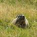 Marmotta.