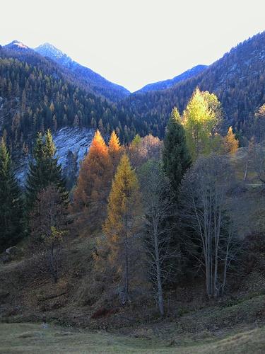 Le cime dei larici e dei pini sono ancora illuminate for Le pigne dei larici