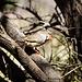Zebra Finch (fringuello).