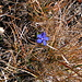 Not a spring gentian, but an autumn gentian I suppose.
