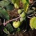 Früchte der Cherimoya (Annona cherimola) in einer Plantage bei Salobreña.