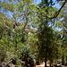 Conifere, eucalipti e palme lungo il sentiero per la Standley Chasm.