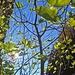 Feigenbäume sind im Bereich des trockenen Bachbettes des Rio Nibbio oft anzutreffen.