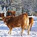 Glückliche Rinder und Kälber