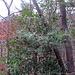 Stechpalme (Ilex) mit Beeren - ein schöner Kontrast