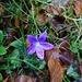 auch Blüemli treffen wir an - Glockenblume