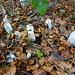 Es gibt auch noch essbare Pilze - Schopftintlinge